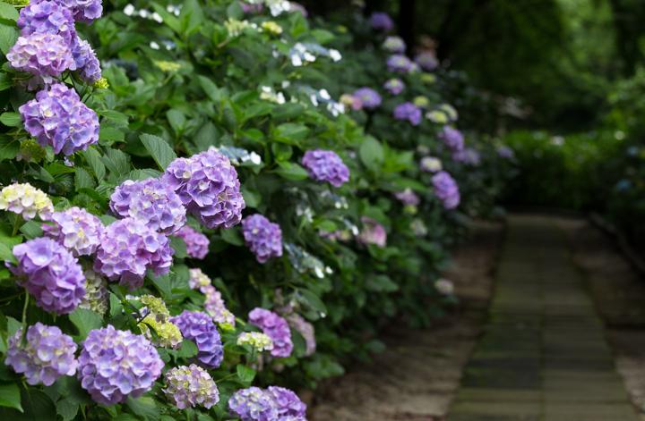 紫陽花寺 (4 - 7)