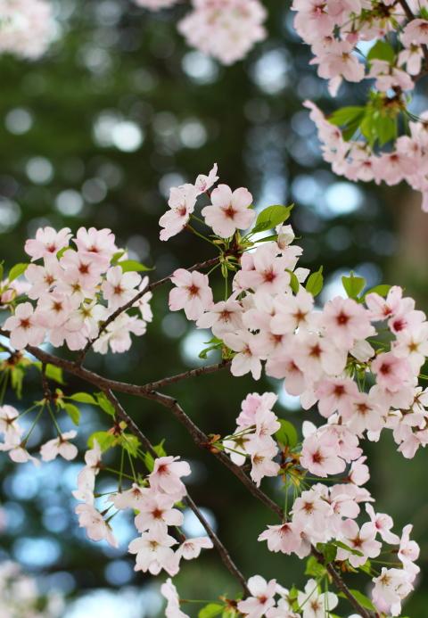 2012年うつぶきの桜0037