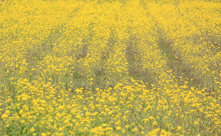 2012年4月菜の花&雪大山0033