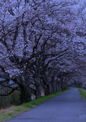 2013年3月桜